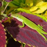 Singing Gecko