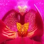 Jaguar Orchid