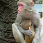 Temple Monkey and Baby