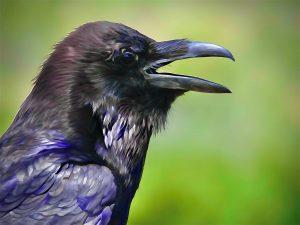 Chaco Canyon Crow